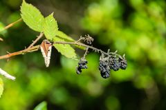 Dried blackberries at end of season royalty free stock photos