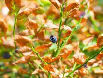 Dried blueberry plant. Dried ripe but emaciated blueberry still attached to the bush stem, surrounded by brown and dying leaves Royalty Free Stock Image