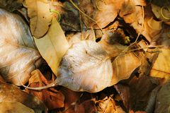 Dried bodhi leaf on the ground Royalty Free Stock Photos