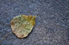 Dried Bodhi leaf on the ground stock photos