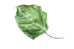 Dried bodhi tree leaf Stock Photo