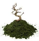 Dried bonsai tree. Bonsai tree on a moss basement Stock Photos
