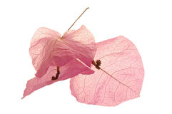 Dried bougainvillea Stock Photo