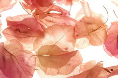 Dried bougainvillea Stock Photography