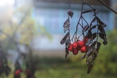 Dried branch of red rowan Sorbus aucuparia in the blurry backg. Round. Close-up Royalty Free Stock Photography