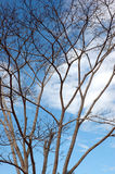 Dried branches on a big tree. With blue sky background Royalty Free Stock Photo