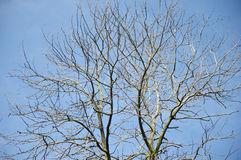 Dried branches on a big tree. With blue sky background Stock Photos