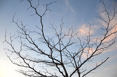 Dried branches on a big tree Royalty Free Stock Photo