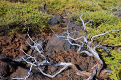 Dried branches in La palma Caldera de Taburiente Royalty Free Stock Photography