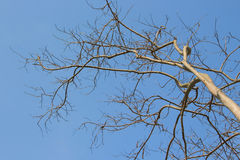 Dried branches of tree. With blue sky background Royalty Free Stock Photo
