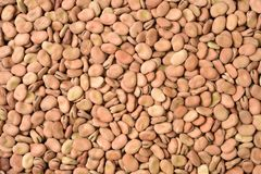 Dried  broad bean Stock Image