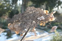 Dried brown head of a hydrangea flower in winter. Dried brown head of a hydrangea flower in a winter garden with snow on the ground in close up detail Stock Photography