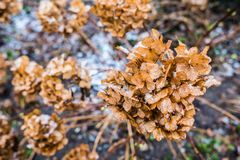 Dried Hydrangeaceae Flowers. Dried and brown Hydrangeaceae flowers with snow stock images