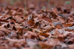 Dried brown leaves on forest floor in Autumn, shallow focus abstract. Closeup stock images