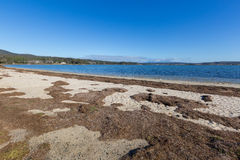 Dried brown seagrass seaweed washed ashore on Georges Bay in St. Helens on the north-east coast of Tasmania, Australia Stock Photo