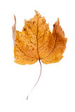 Dried brown and yellow maple leaf Stock Photography