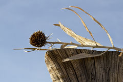 Dried bud and fence post are natural arrangement Royalty Free Stock Image