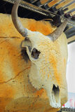 Dried buffalo - the wooden wall hanging. Stock Photography