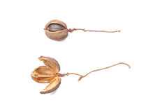 Dried bulbs of Physic Nut Royalty Free Stock Photography