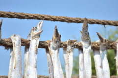 Dried bumla fish - Bombay duck fish Stock Images