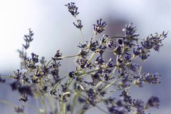 Dried bunches of lavender - medicinal herbs background, macro, flowers royalty free stock images