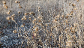 Dried Burdock in Late Winter Stock Images