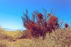Dried Bush in Ash Meadows, California Royalty Free Stock Image