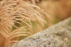 Close-up of dried bush grass panicles isolated on white Stock Image