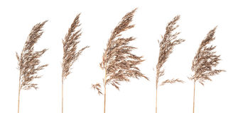 Dried bush grass panicles on white background royalty free stock photos