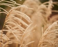 Close-up of dried bush grass panicles  on white Stock Photos