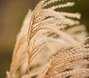 Close-up of dried bush grass panicles  on white Royalty Free Stock Image