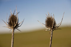 Dried cactus in the Alentejo Stock Photography