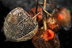Dried Physalis peruviana with nice structure stock images