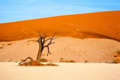 Dried camel acacia tree on orange sand dunes and bright blue sky background, Namibia, Southern Africa royalty free stock image