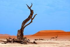 Dried camel acacia tree on orange sand dunes and bright blue sky background, Namibia, Southern Africa royalty free stock photo