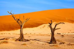 Dried camel acacia tree on orange sand dunes and bright blue sky background, Namibia, Southern Africa royalty free stock photography