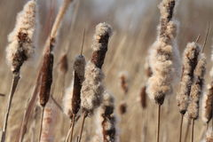 Dried Cattail Royalty Free Stock Photography