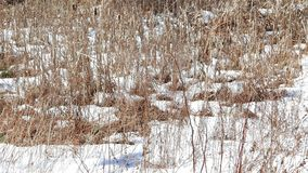 Dried cattails in winter stock footage