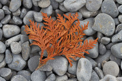 Dried Cedar Frond Lying on a Cobblestone Beach Royalty Free Stock Photography