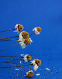 Dried chamomile flower Royalty Free Stock Photo