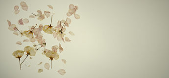 Dried cherry blossom Stock Photos