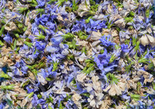 Dried chicory Royalty Free Stock Image