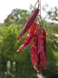 Dried chillies on green outdoors background Stock Photos