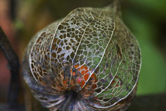 Dried Chinese Lantern Royalty Free Stock Photography