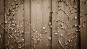 Dried climber ivy, hedera on old wooden board Royalty Free Stock Photo