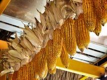 Dried cob corn Stock Photo