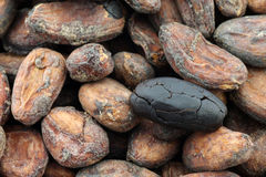 Dried cocoa beans and a peeled one Royalty Free Stock Photo