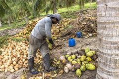 Dried coconuts. Conde, Bahia, Brazil, August 22, 2013. Worker extracts fiber from dried coconuts in a farm on the north coast of Bahia, northeast of Brazil Royalty Free Stock Photos