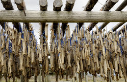 Dried cod in Iceland Stock Photography