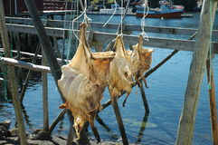 Dried cod in Norway Stock Photography